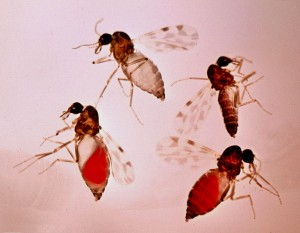 Culicoides-imicola-bloodfeeding