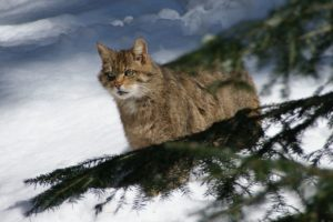 1200px-european_wildcat_nationalpark_bayerischer_wald_02